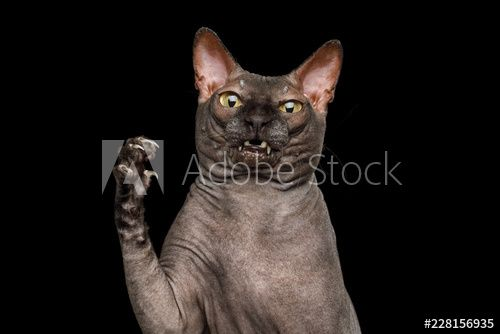 Funny Portrait of Curious Sphynx Cat Hold Paw with amazement face Looks Nasty