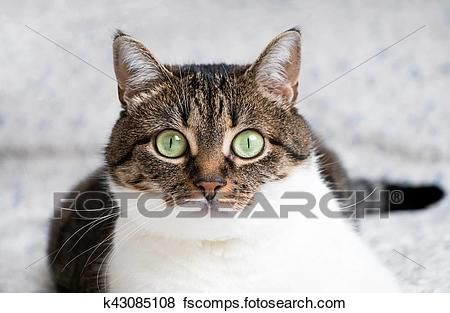 Funny colored cat with striped head and back and white chest looking curiously with its eyes wide open