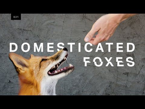 We met the world s first domesticated foxes 2018 This week we meet the very cute and very bizarre result of an almost 60 year long experiment they re
