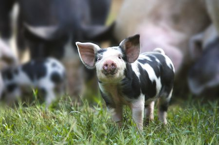 organic pig farm 5c53bbc246e0fb b9c31