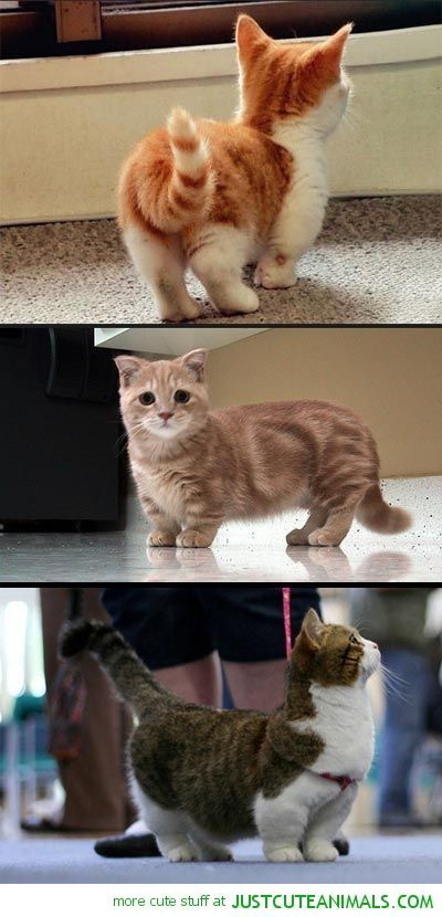 Munchkin Cats I want one pletely obsessed with these cuties