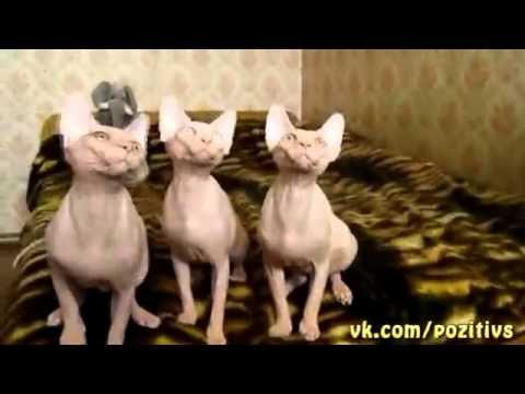 Funny synchronized sphynx cats