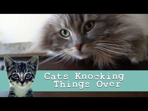 Funny Cat Videos Kitties Knocking Stuff Over [Funny Cats]