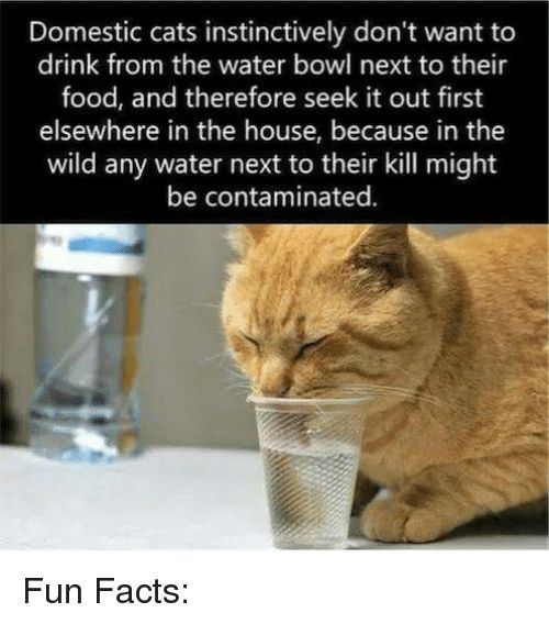Cats Memes and Bowling Domestic cats instinctively don t want to drink Fun Facts