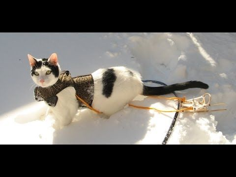 Funny & cute cat video cat in snow plays & toy sled Cat acts like a dog [fun tango music] [little video] short film cute cat video 2014 funny cat videos