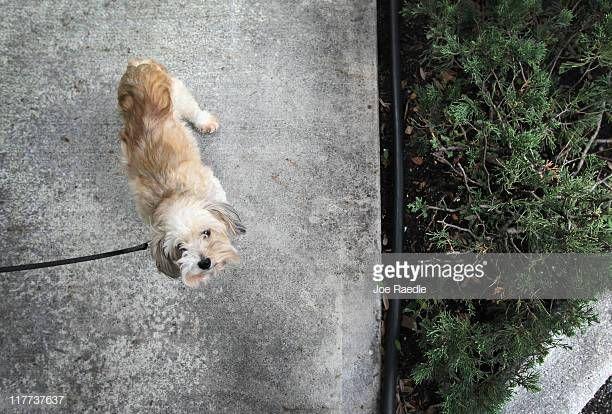 Maggie is taken for a walk in The Village of Abacoa condominium plex where the condo RF Corgi dog pooping