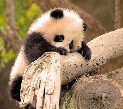 The cherubic baby panda s climb 5 month old Zhen Zhen Baby Pandas Cute