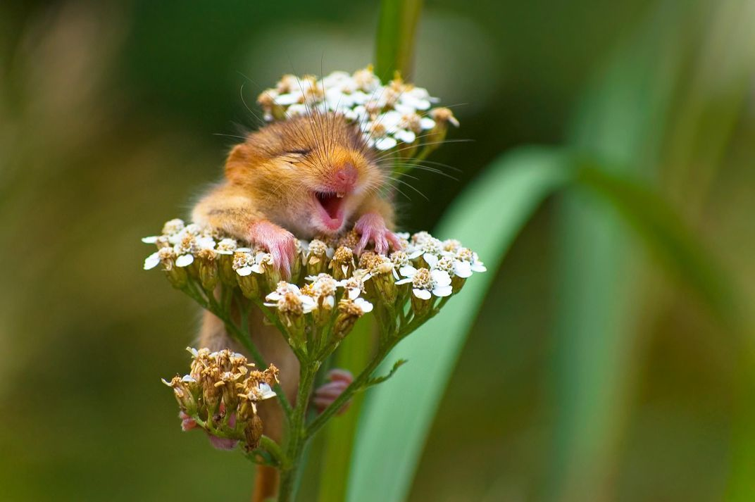 "This laughing doormouse chuckled its way into the winning spot of the "" the Land"" category Andrea Zampatti edy Wildlife Awards"