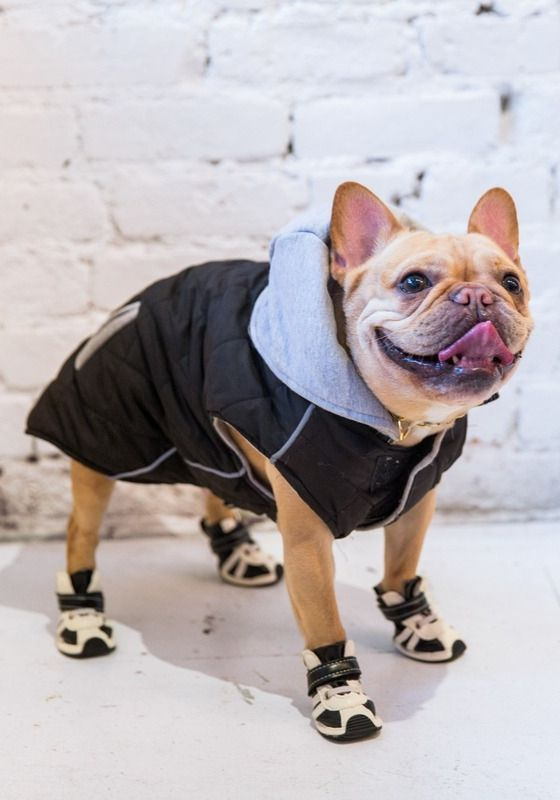 Meet Luella the Fashion Frenchie Dog Best Friend Cute Funny Animals Pet Birds