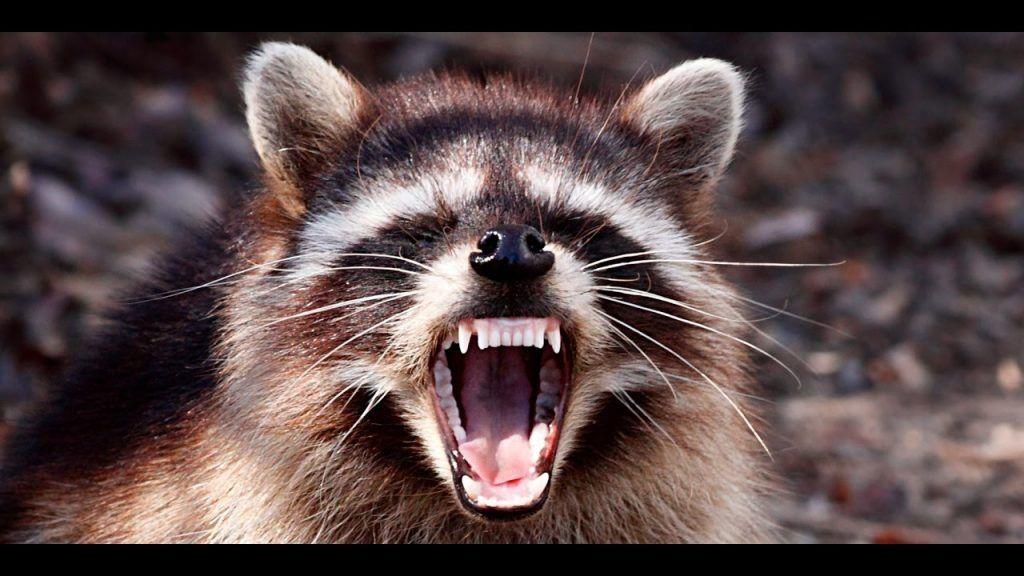 """"""" Raccoon funny """""""
