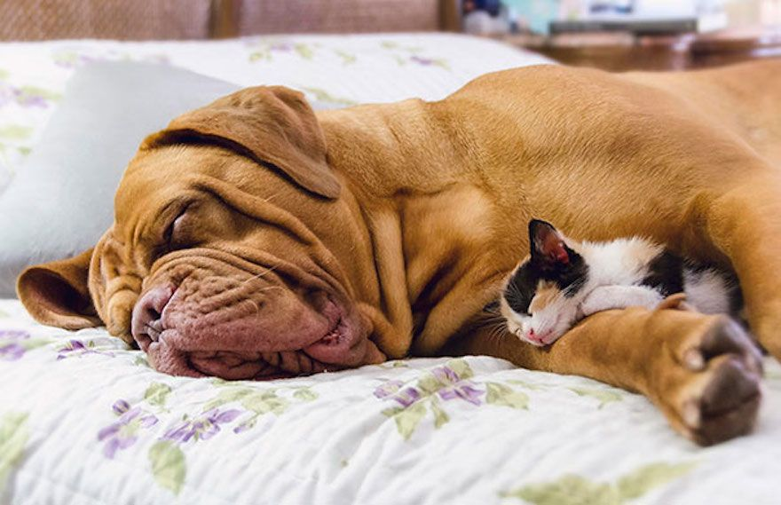 cute cats sleeping on dogs 22 605