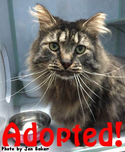 This handsome MC boy might just be what you re looking for Shamrock came to us near after a severe mauling by another cat