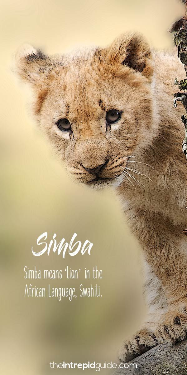 The Lion King African words Simba