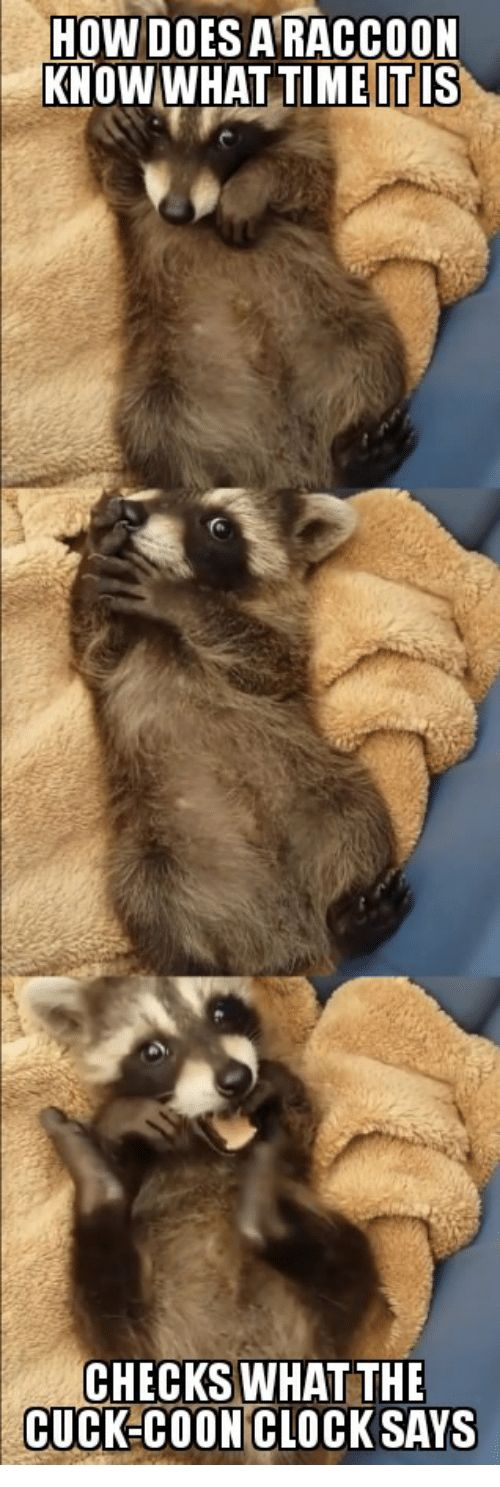 Raccoon Time and How HOW DOES A RACCOON KNOW WHAT TIME IT IS
