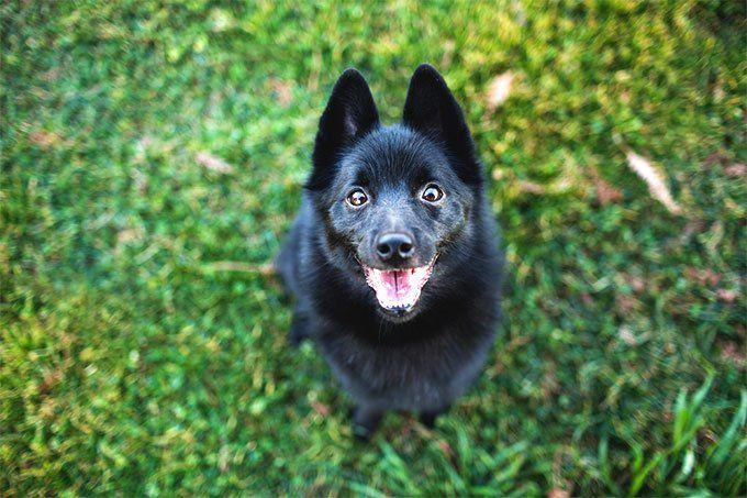 Schipperke Dog Breed Picture