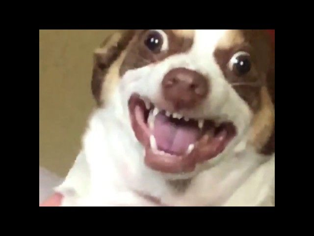 Mr Bubz the big eyed dog who has racked up over 55 000 Instagram followers