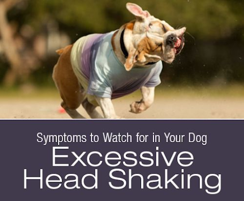 Symptoms To Watch For In Your Dog Excessive Head Shaking