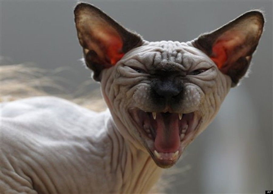 Funny Sphynx Cats