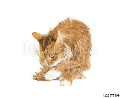 funny wet cat licking its paw on a white background