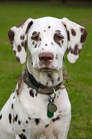 Brown Dalmatian Puppy Dog Liver and White Dalmatian is what I m use to calling them
