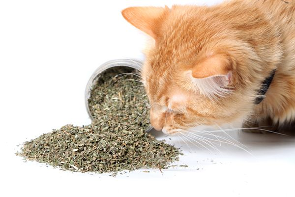 An orange cat sniffing catnip