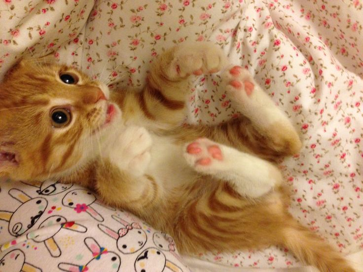 Claw trap Touch that belly and you ll have a permanent kitty attached to your forearm