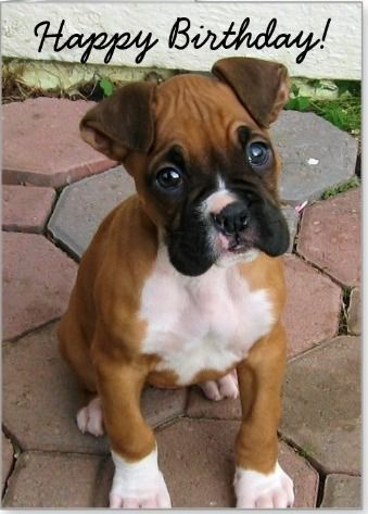 Catch the Prodigious Funny Boxer Dog Birthday Memes