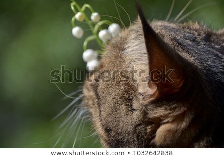 Cute tabby cat smells spring flowers in sunny morning garden Funny cat and tender lilies