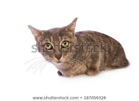 Cute blue Munchkin cat with funny look on its face isolated on white background