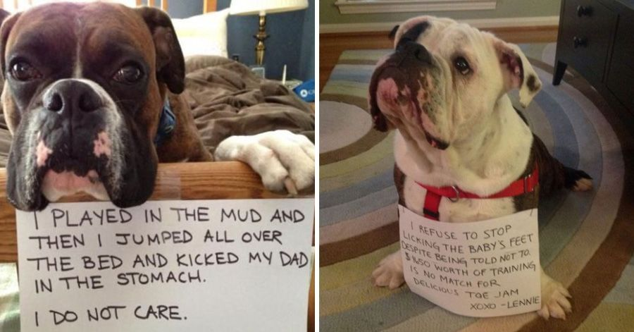 31 guilty dogs that would do it again if they could