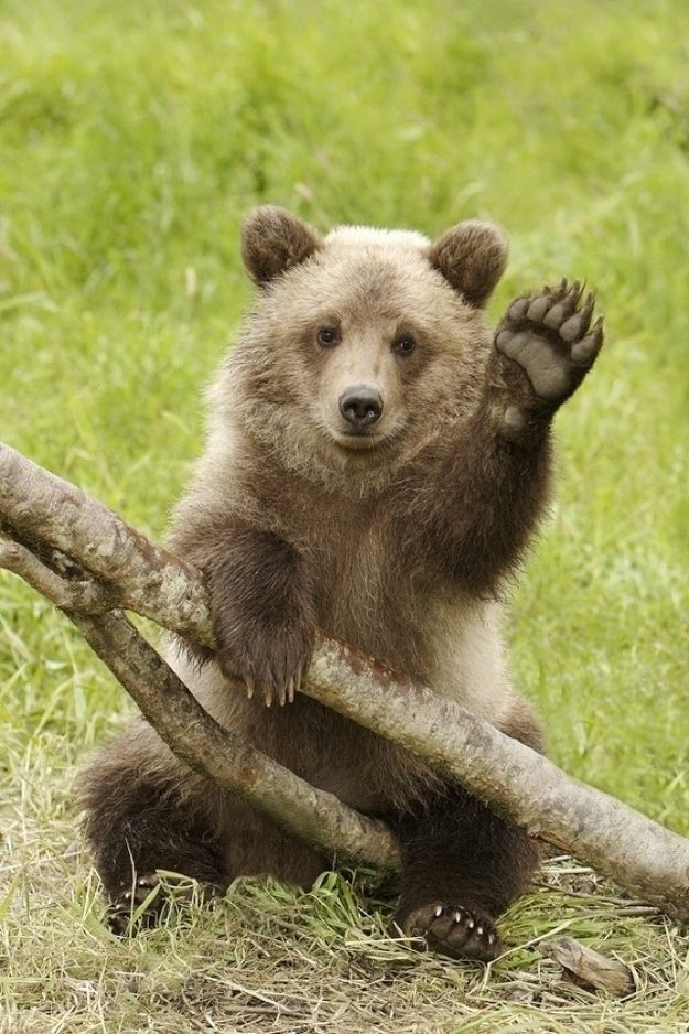 baby waving goodbye Google Search Waving Bear Pets Baby Bear Cub Baby