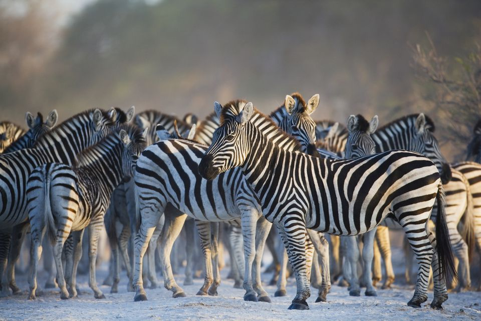 Most Iconic African Safari Animals Zebra