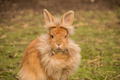 Hare Rabbit Lion Head Bunny Animal