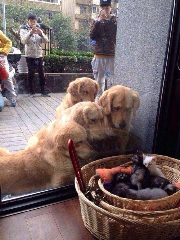 Birlikte büyüyen 4 golden köpeği bir mağazanın köşesinde uyuyan yavru kedileri görür I love dogs Pinterest