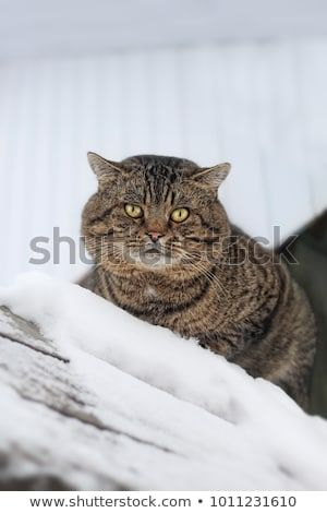 angry cat sits on the roof in the snow funny surly animal soft focus