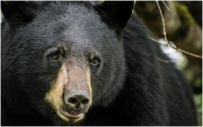 Strange as it may sound this actually happened It turns out no one can ingest so much and stay alive–not even a 175 pound black bear from Georgia