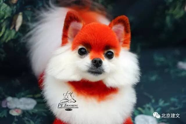 What a cute fox opawz supply creative grooming products for worldwide groomer