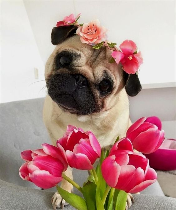 A beautiful flower for a brave little pug cute animals dogs
