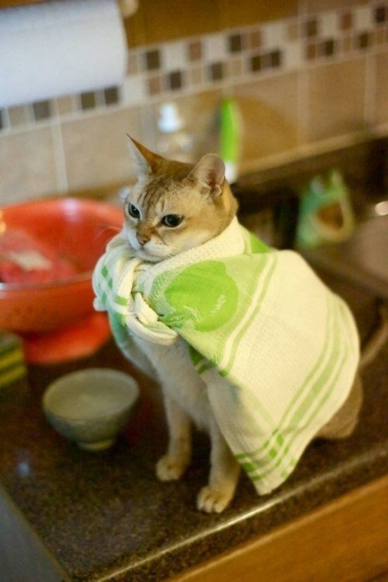 Cat wearing teacloth as a cape
