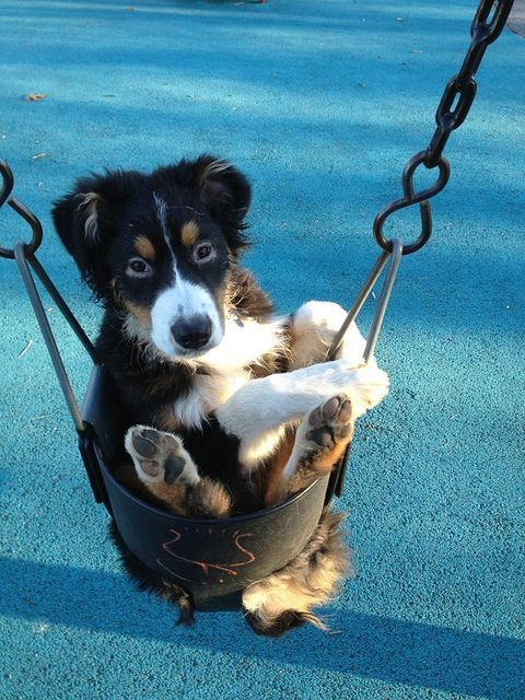 Bernese Mountain Dog puppy going for a swing