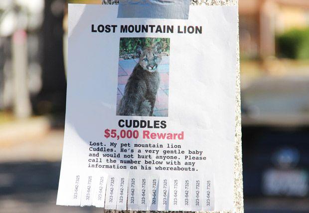 Santa Monica Mountain Lion