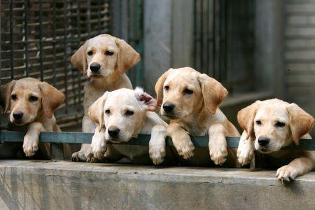 Labrador Retriever Puppies Picture of Labrador Retriever Puppies