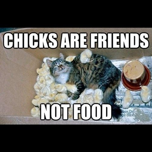 chicks are friends