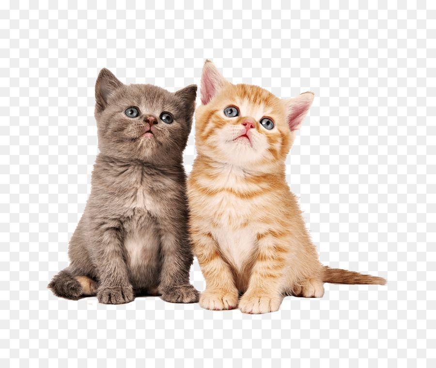 Kitten Siamese cat Munchkin cat Desktop Wallpaper Savannah cat piel de gato