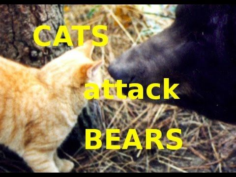 Cats ing Bears Funny Cat Video pilation Hitman Cats