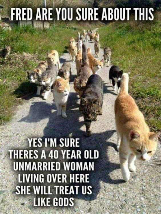 cat lady meme about pack of cats seeking a carer