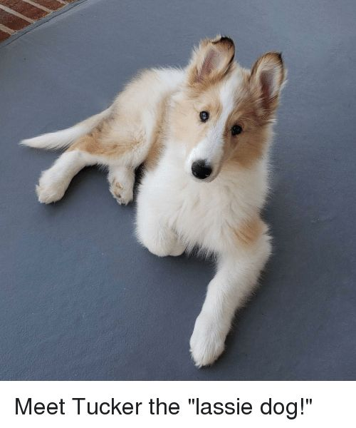 """Dog Lassie and The Meet Tucker the """"lassie dog """""""