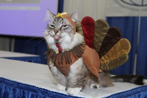 These 24 Cats Love Thanksgiving At Least The Food