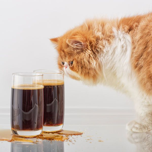 Symptoms of alcohol poisoning in cats