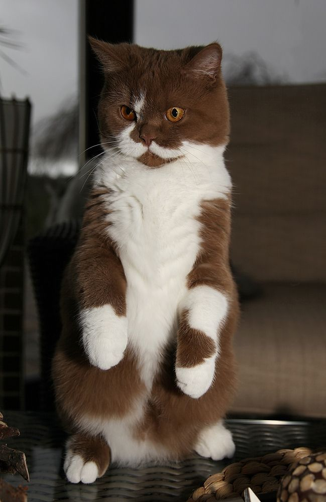 Brown and white cat on hind legs Want to pet this fur Och büdde Von Petra Arians
